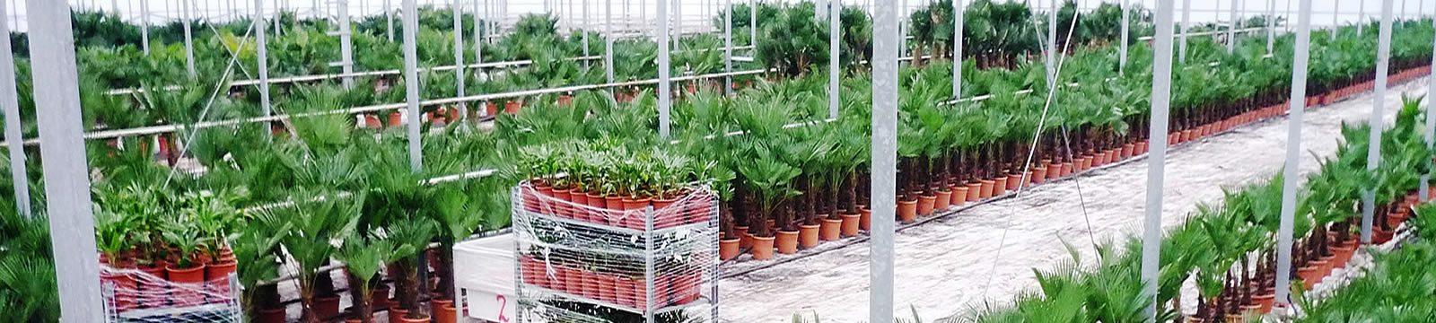 Nieuwe palmbomen bestellen?